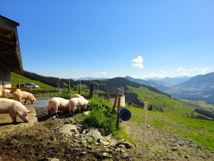 Almschweine sind die biologischen 'Molkeverwerter' auf den Kaasalmen in Tirol