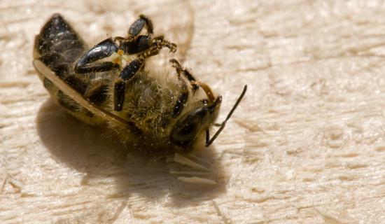 Tote Bienen werden in Südtirol bald zum alltäglichen Bild in Bienenhäusern gehören. Bild: global2000