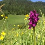 ...der wunderschönen Orchidee namens Knabenkraut