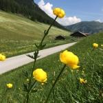 Die Trollblumen gehören zu meinen Lieblingsblumen wie auch ...