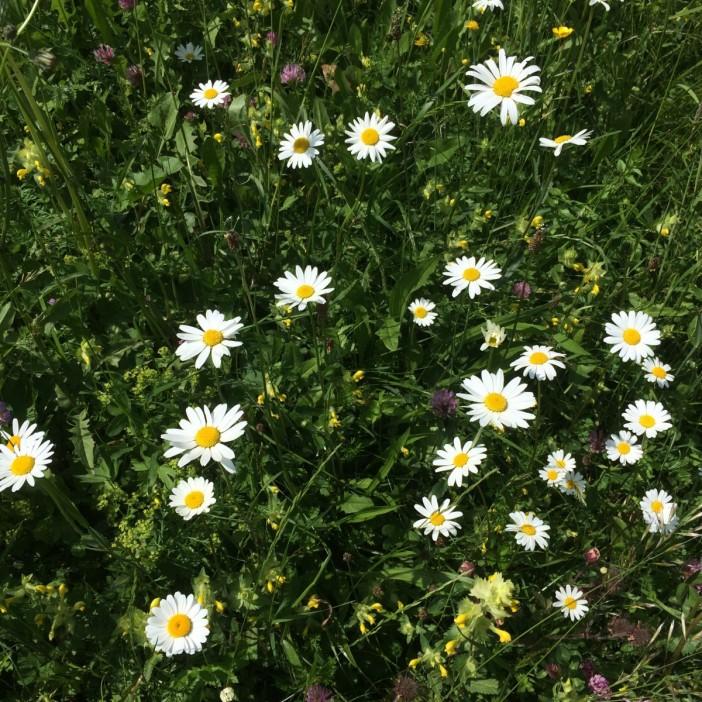 Die Wiesen sind Anfang Juni ein Blütenmeer. Betörend schön.