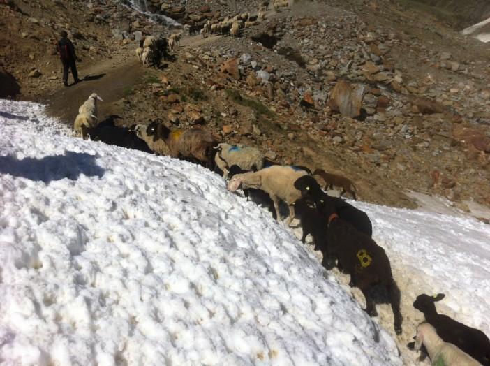 Den Schafen und ihren Hirten wird auf der zweitägigen Transhumanz viel abverlangt. Vor allem den Jungen Lämmern, die ihre Mütter auf die Wochweiden begleiten.