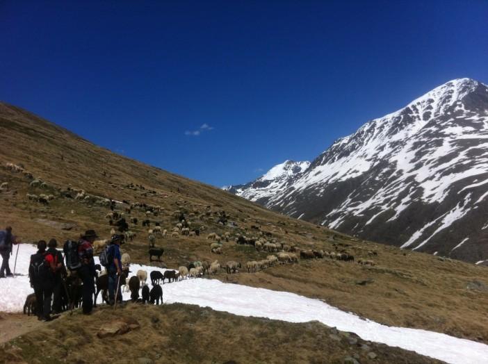 Am Ziel. Die Schafe essen begierig die ersten Kräuter auf den Hochweiden.