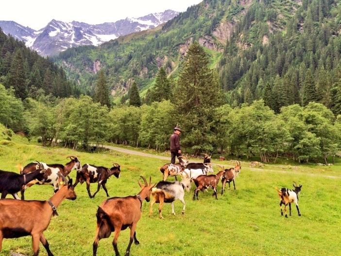 Auf und ds Goaß nôch: die 14 Ziegen auf dem Weg auf  ihre 'Jagdgründe' im hinteren Valsertal.