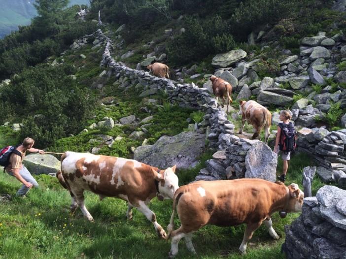 Die Trockensteinmauern zeigen den Tieren den Weg auf die Hochalm.
