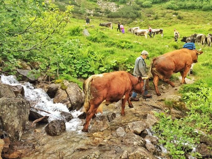 Zwei wunderschöne Tuxer Rinder auf dem Weg zur Zeisch