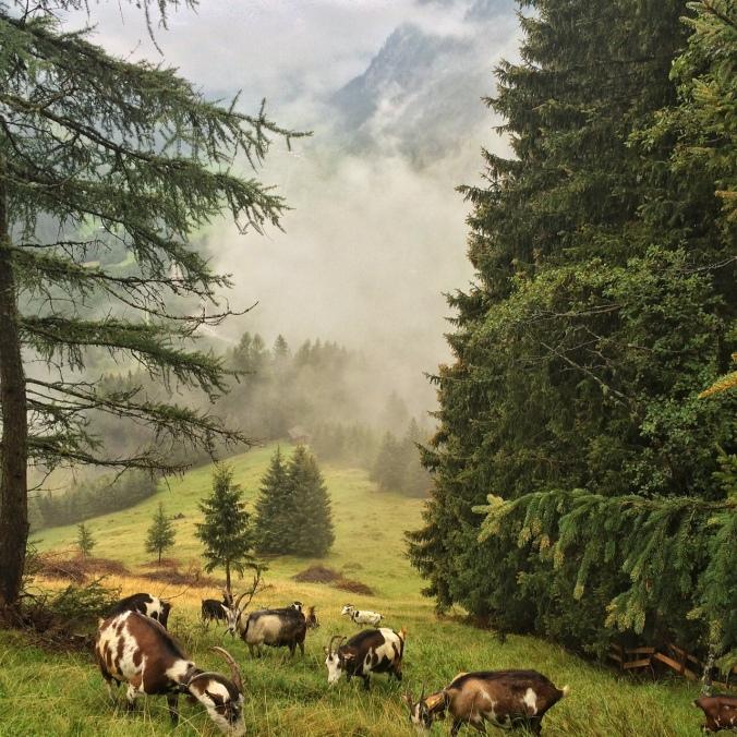 Ziegen im Valsertal