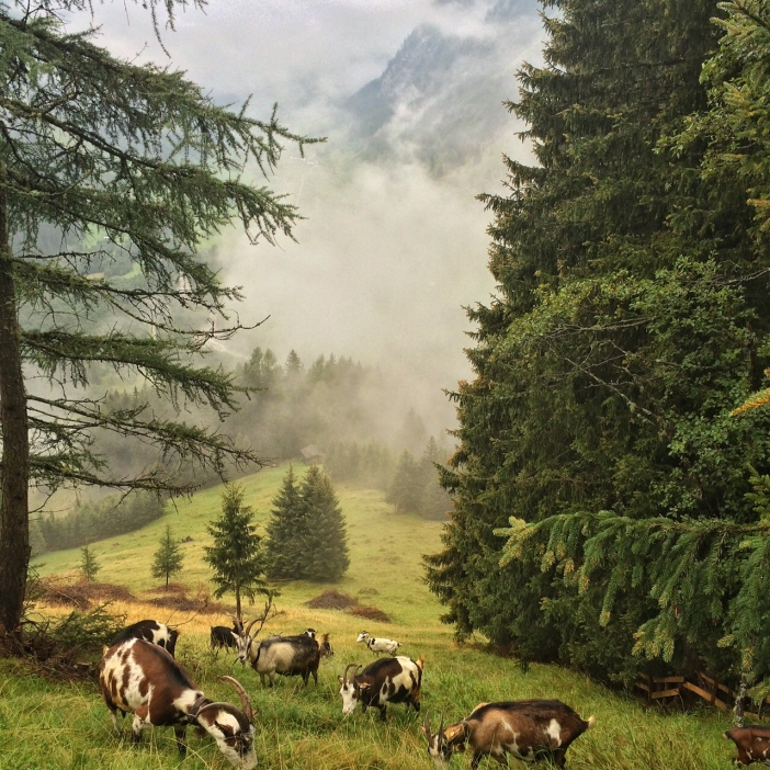 Helgas Ziegenherde auf ihrer Lieblings-Wiese. Da stören auch Regen und Nebel nicht.