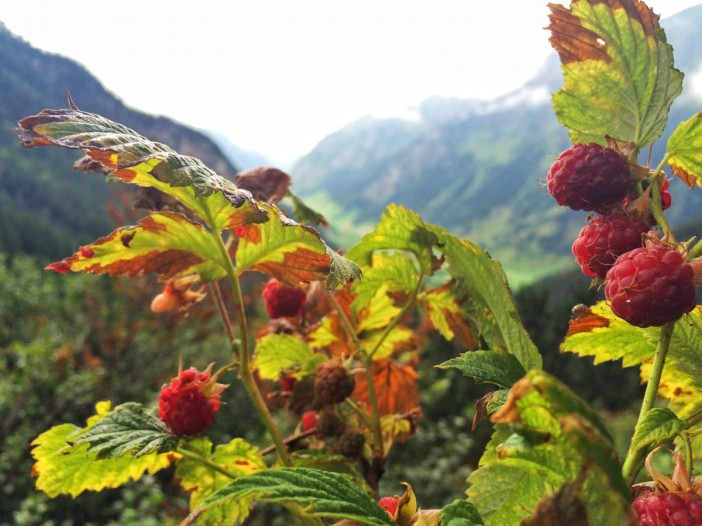Wald- und Berghimbeeren: Von Zuchthimbeeren geschmacklich nicht zu übertreffen.