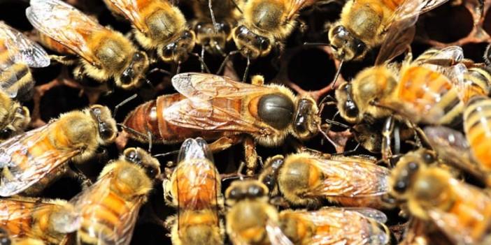 Die Bienenkönigin ist quasi das Herz eines Bienenvolkes.