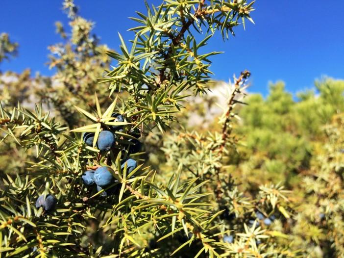 Blaue und schwarze Kranebitt-Beeren warten zuhauf auf die eifrigen Sammler_innen.