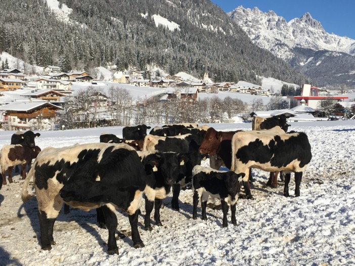 Eine Herde im Freiland. Auch und vor allem im Winter lieben es die Tiere, auf dem Schnee herum zu tollen.