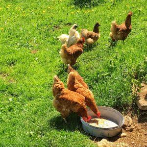 hühner am rohrhof