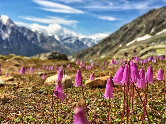 Alpenglöckchen oder Soldanellen wiegen sich im leichten Wind.