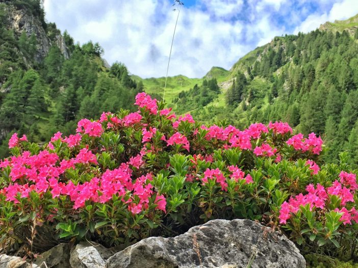 Almrausch in voller Blüte im Schmirn, kurz vor Kasern.