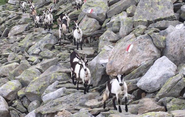Diese muntere Herde Pfauen-Geissen begrüßte mich am 'Steinernen.Lamm'