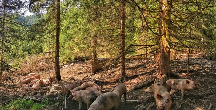 Die Almschweine der Peer-Alm im Navistal.