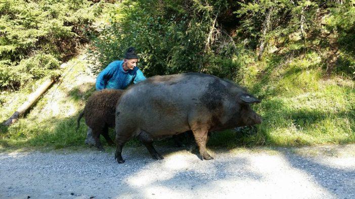 Karl Peer mit den Wollschweinen