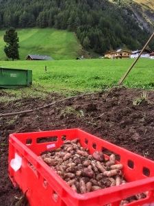 Die erste Ernte auf dem Probefeld in Kasern