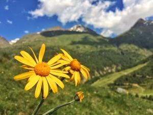 Arnika auf dem Bergmahd. Eine der bekanntesten Heilpflanzen in der Volksmedizin.