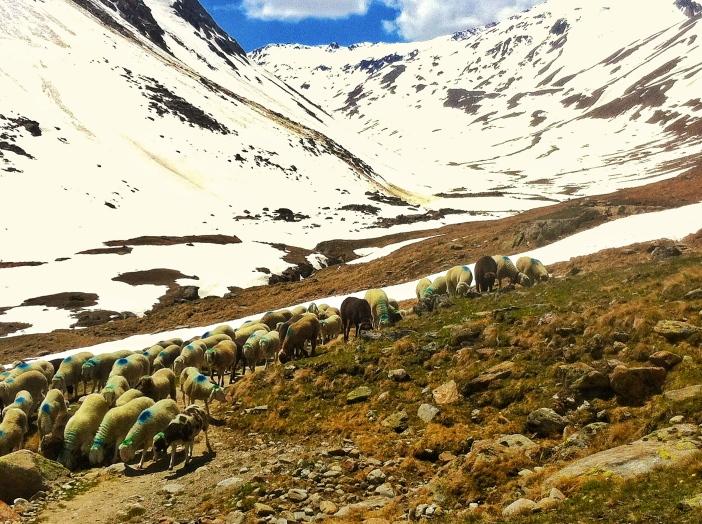 Schafe bei der Transhumanz