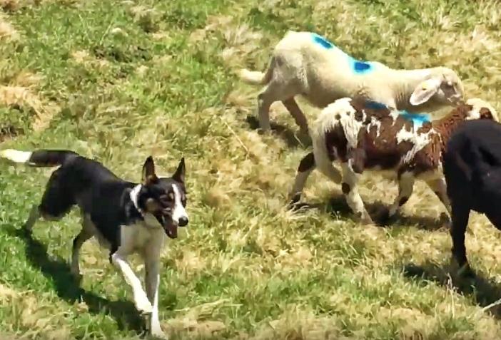 Hirtenhund Transhumanz