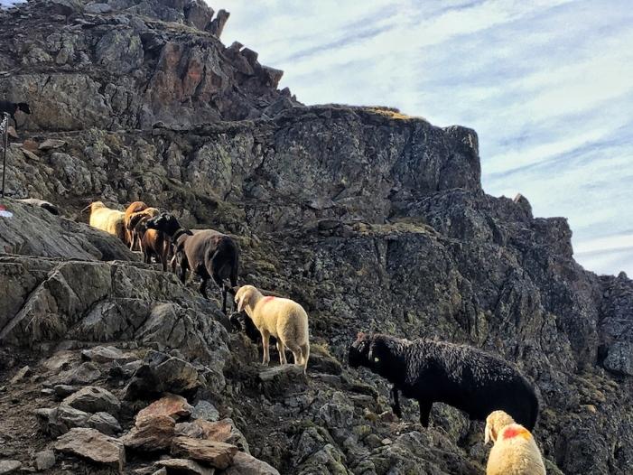 Schafe vor der Similaunhütte