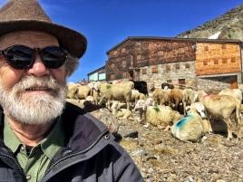 In Begleitung der Schafe am Similaun