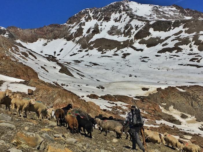 Transhumanz Schafe Ötztal