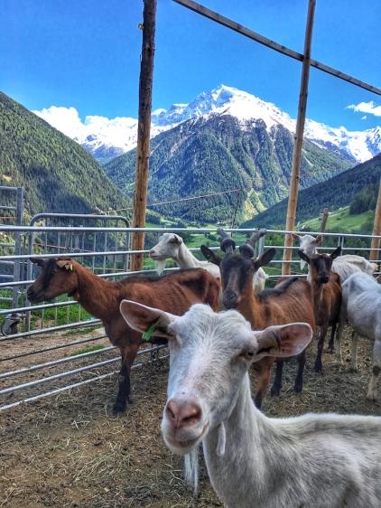 Die muntere Ziegenherde vom Faslarhof in 1.486 m Seehöhe.