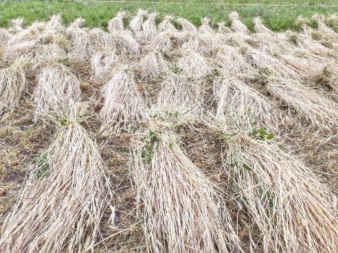 Das Getreide wird nach dem Schnitt kurz zum Trocknen aufgelegt. Bild: Leidenschaft f. Grund und Boden/Pinggera