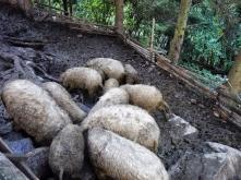 Mangalica Schweine