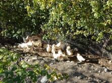 Sandbad Hühner Psegghof