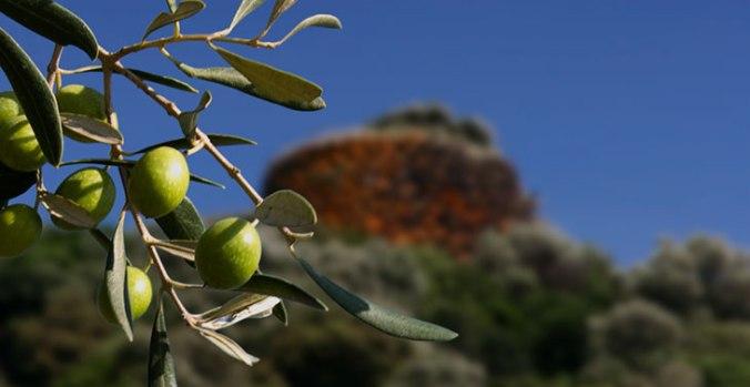 Oliven in Sardinien