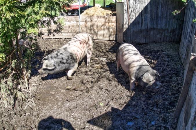 Schwäbisch-Hällischen-Landschweine vom BIO-Kreizigerhof
