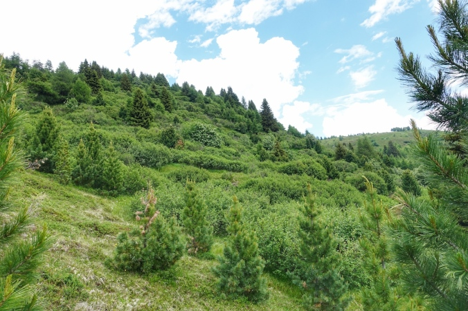 Grünerlen Obernberg