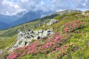 Obernberg, Lichtsee Alpenrose Kopie