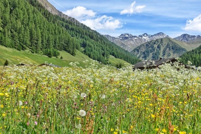 Alpenblumenwiese Schmirn