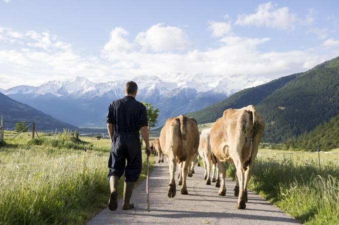 Alexander Agethle mit seinen Kühen